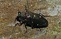 Jewel Beetle (Chrysobothris affinis) (9086362016).jpg