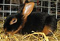 Jielbeaumadier lapin feu noir agr paris 2013.jpg