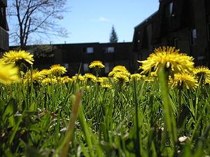 Raunkiær plant life-form - Hemicryptophytes