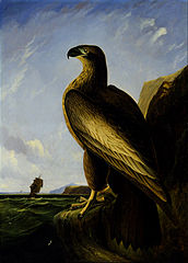 Washington Sea Eagle