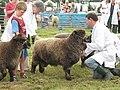 Judging tups, Tenbury Show - geograph.org.uk - 909799.jpg