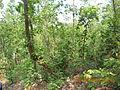 Jungle of sutan, bankura.jpg