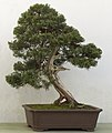 Juniperus chinensis bonsai.jpg