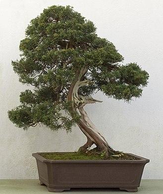 Juniperus chinensis - Image: Juniperus chinensis bonsai