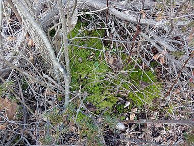 Juniperus communis var depressa SCA-02670.jpg