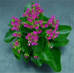 Kalanchoe - Kalanchoe blossfeldiana