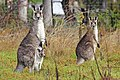 Kangaroo and joey04.jpg