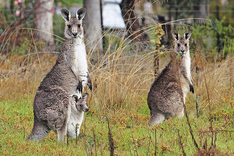 File:Kangaroo and joey04.jpg
