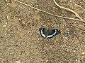 Kaniska canace viridis Evans, 1924 – Sahyadri Blue Admiral from Maloor, Peravoor (15).jpg