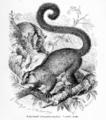 Katzenmaki (Chirogaleus furcifer).png