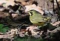 Kentucky Warbler (34467889296).jpg