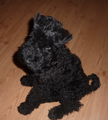 Kerry Blue Terrier puppy.png