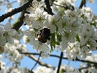 Kirschblüte mit Hummel.jpg