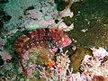 Klipfish at Castle Rocks P7260877.JPG