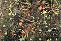 Kluse - Oxalis tuberosa 17 ies.jpg