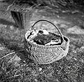 Košara iz srobota za razno, Gabrk, pri Bariševih 1955.jpg