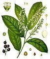 Koeh-Prunus laurocerasus.jpg