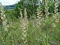 Koeleria pyramidata flower (05).jpg