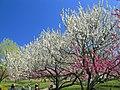 Koga Ibaraki Koga Park Peach Flowers 2.JPG
