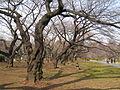 Koishikawa Botanical Gardens, Tokyo - trees in winter.jpg