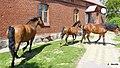 Konie na podwórku - panoramio (3).jpg