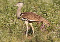 Kori bustard, Ardeotis kori, at Mapungubwe National Park, Limpopo, South Africa (18106384446).jpg