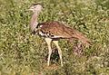 Kori bustard, Ardeotis kori, at Mapungubwe National Park, Limpopo, South Africa (18106384446).jpg