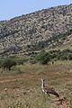 Kori bustard, Ardeotis kori, at Pilanesberg National Park, Northwest Province, South Africa (28439449550).jpg