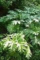 Korina 2011-05-28 Heracleum mantegazzianum 2.jpg