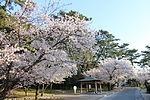 Kotohiki-kouen sakura.JPG
