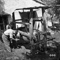 """Kravo podkujejo v """"štantu"""", Klun Jože, kovač, Misliče 1955.jpg"""