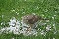Krogulec jedzący gołębia 4.jpg