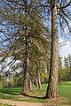 Lärchenallee in Weitra 2014-04 02 NÖ-Naturdenkmal GD-115.jpg