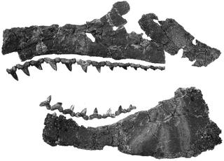 <i>Cretalamna</i> Extinct genus of sharks