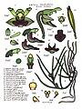 LR049 72dpi Luisia teretifolia.jpg
