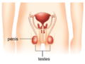 Labelled human reproductive system.png