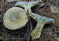 Lactarius chelidonium var. chelidonioides (A.H. Sm.) Hesler & A.H. Sm 359072.jpg
