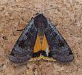Large Yellow Underwing. Noctua pronuba. Female - Flickr - gailhampshire.jpg