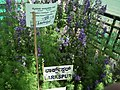 Larkspur from Lalbagh flower show Aug 2013 8057.JPG