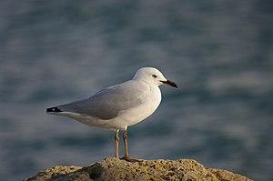 Silver Gull(Larus novaehollandiae)