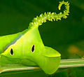 Larva of a Butterfly tail.jpg