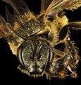 Lasioglossum cressonii, f, face, Maine, Du Clos (23987498812).jpg