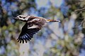 Laughing Kookaburra (Dacelo novaeguineae) (31374072405).jpg