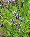 Lavandula canariensis 2.jpg