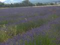 Lavendelfeld2.png