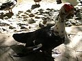 Le canard de barbarie - Jardin d'essai El Hamma - Alger.JPG