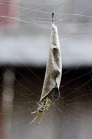 Rolled-up Leaf Spider 320px-LeafCurlingSpider01