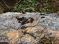 Lemming camouflage.JPG