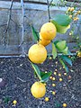 Lemonade fruit.jpg