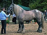 Poitevin stallion